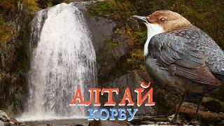 Алтай: водопад Корбу и оляпка | Film Studio Aves