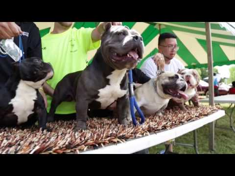 BULLY ISLAND EXPO 2016 SAGINAW, MI
