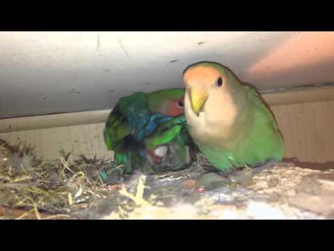 Birth of a bird lovebirds parrots birds