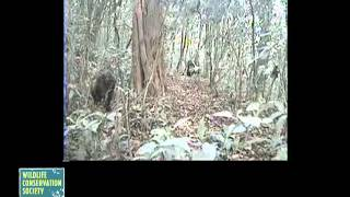 Rare Footage of Cross River Gorillas Captured by the Wildlife Conservation Society