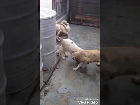 Fighter Pakistani bully puppies for sale 9999039993 , available in  faridabad online , olx , Amazon