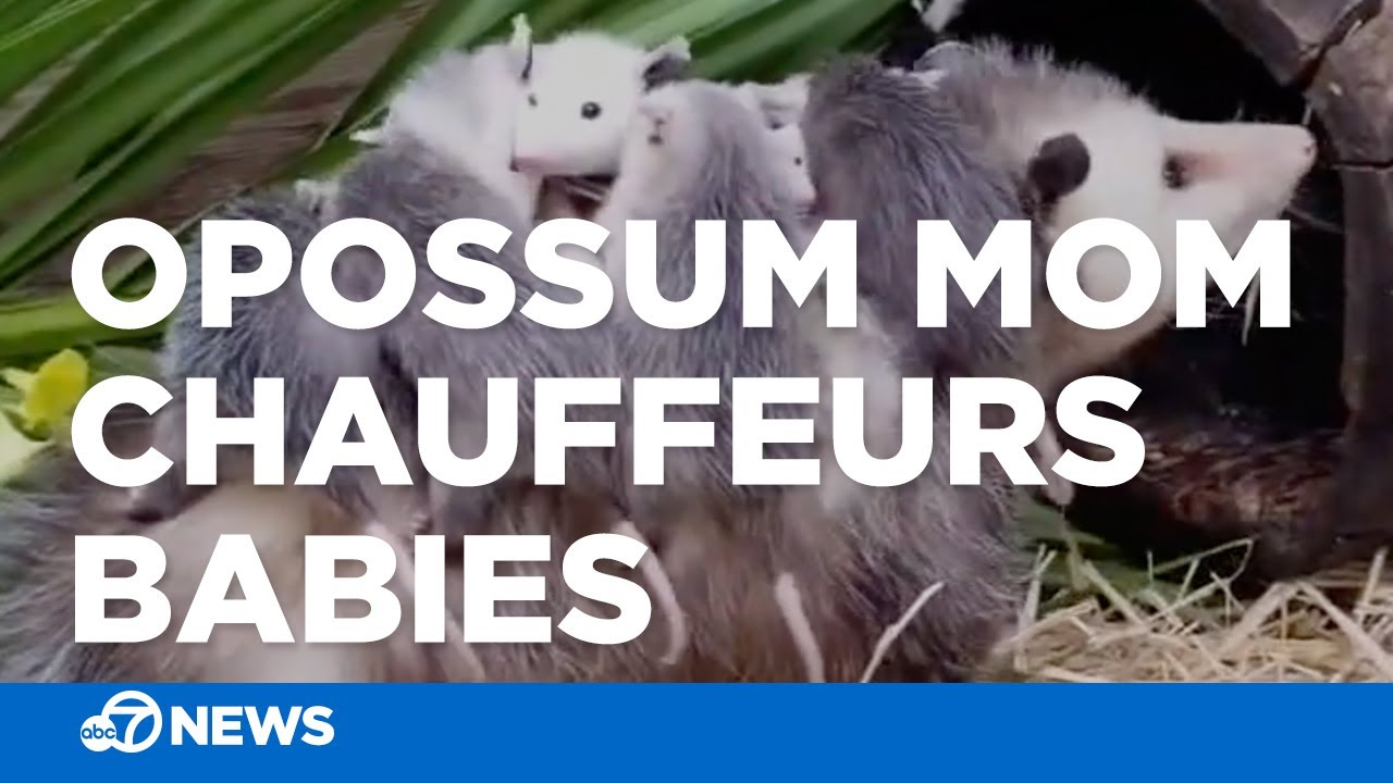 Adorable! Mom opossum chauffeurs her babies after recovering from injury