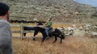 Обучение карачаевской  лошади. Карачаевцы и Балкарцы  обучают лошадь.