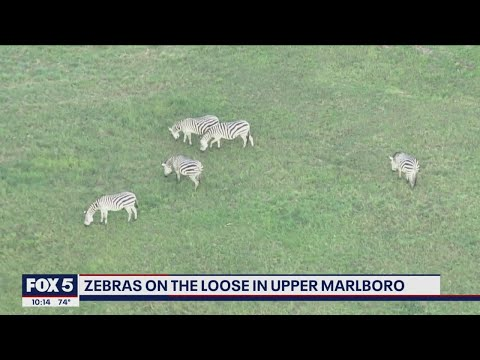 Zebras-reportedly-on-the-loose-in-Prince-Georges-County-after-escaping-from-farm-FOX-5-DC