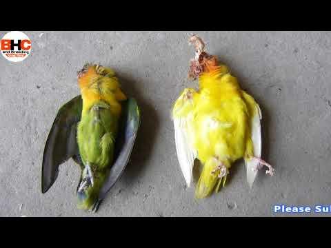 Lovebirds ki Bad Habits   Lovebird Killing Each Other #2 Love birds Expire