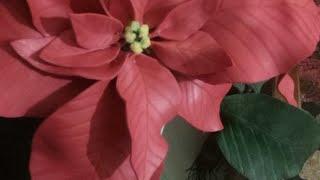 Alla Ricerca Della Stella Di Natale Youtube.Stella Di Natale In Crepla Youtube