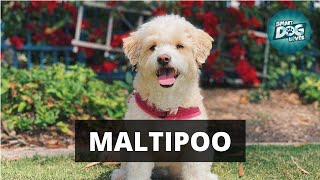 Maltipoo Facts: What You Need to Know About Puppies and Adults