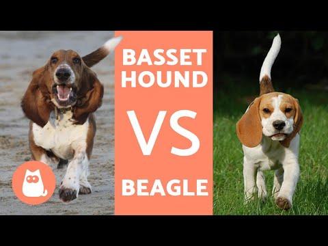Diferencias entre BEAGLE y BASSET HOUND