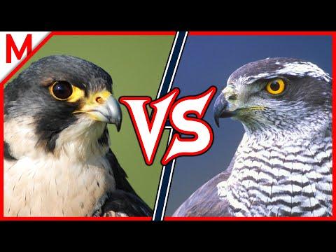Peregrine Falcon Vs Goshawk   ANIMAL BATTLE (+Fossa Vs Civet Winner)