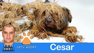 Hope For Paws Rescue Matted Yorkie Named Cesar