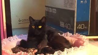 Сибирская кошка ухаживает за пятидневными котятами