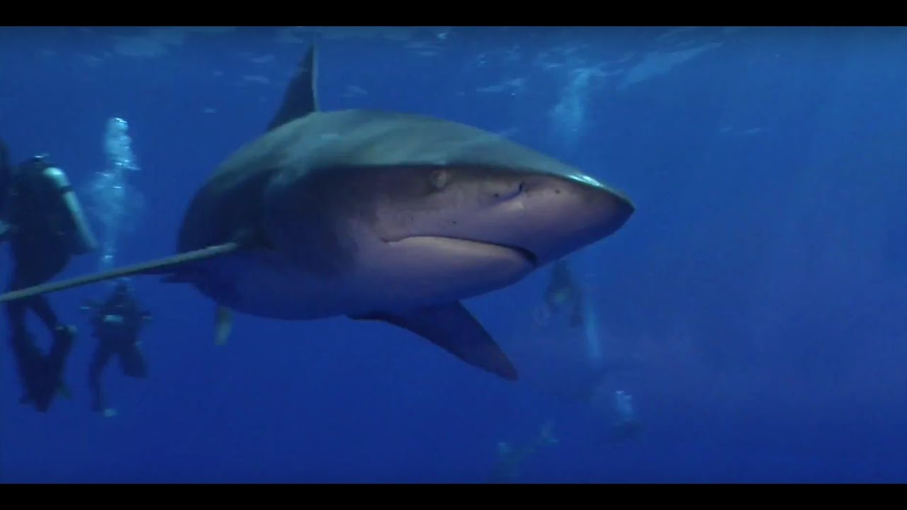 Sharks 2015 chevy florida insider fishing report for Florida insider fishing report