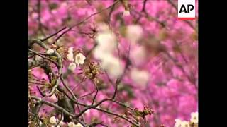 HEADLINE: Raw Video: Annual tradition blossoms in Japan CAPTION: Ch...