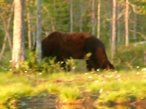 Spice Trip To Finland Bear Watching 2009