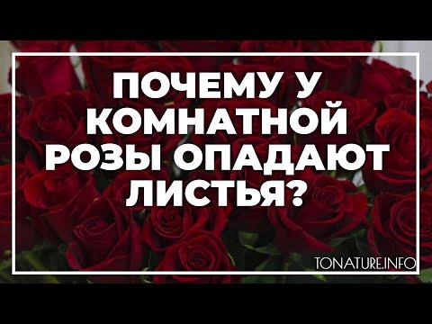 Почему у комнатной розы опадают листья? | toNature.Info