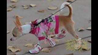 Для чего нужны обувь для собак,как приучить собаку к обуви,где купить.
