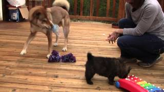 This is a video of Kai Ken (甲斐犬) male puppy 4, from Kumi's third...