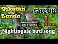 Sikatan Londo Gacor Nightingale Bird Song  Mp3 - Mp4 Download