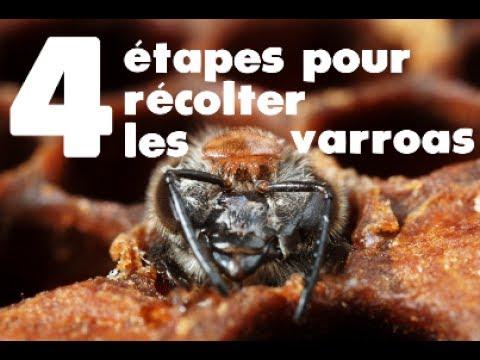 Les 4 étapes de la récolte des varroas  pour le test VSH