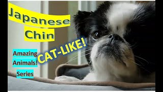 Japanese Chin | Japanese Spaniel | Amazing Animals | Pet Dogs