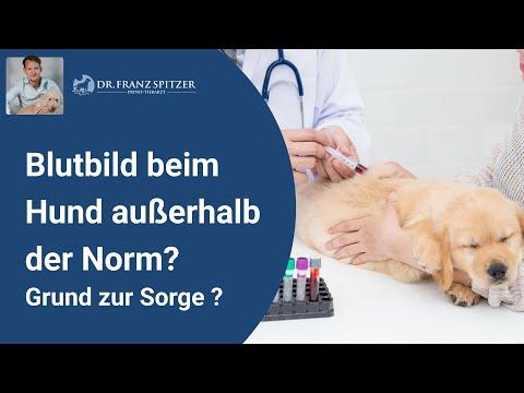 Bluttest Beim Hund Nicht Ok? Auffällige Blutwerte? Nicht Immer Ein Grund Zur Sorge!