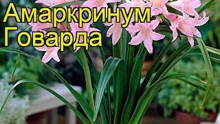 Амаркринум говарда (Амаркринум говарда). Краткий обзор, описание характеристик, где купить, луковицы
