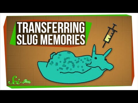 Scientists Just Transferred Memories... Between Sea Slugs