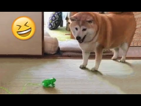 Shibe Gets Spooked By Froggo