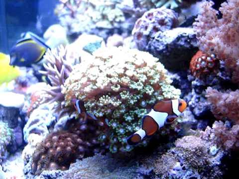 Animal-World & Branching Flowerpot Coral Alveopora Species Daisy Coral ...