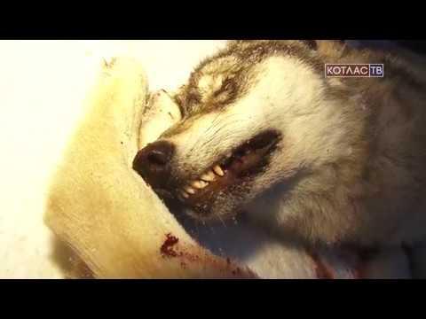 Волки атакуют деревню Федотовская (23 11 2017)