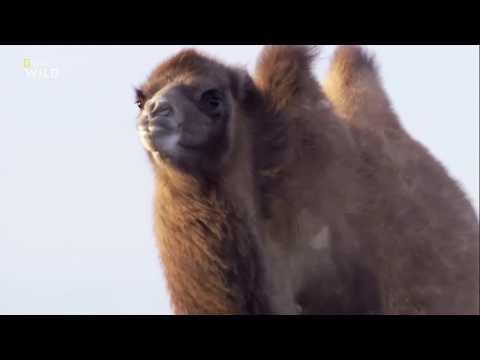 Вопрос: Как, когда и откуда в Австралии появились верблюды?