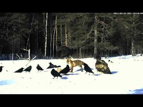 White-tailed Eagle vs. Fox - Estonia, Feb 23, 2011