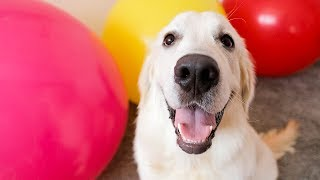 surprise-for-my-cute-puppy-bailey-giant-balloons-funny-dog-vs-giant-balloons