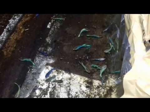 Anakan ikan cupang Giant dan Cupang alam