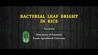 5 Bacterial Leaf blight in rice