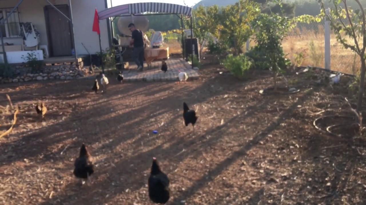 Tavuklar nasıl yemlenir?