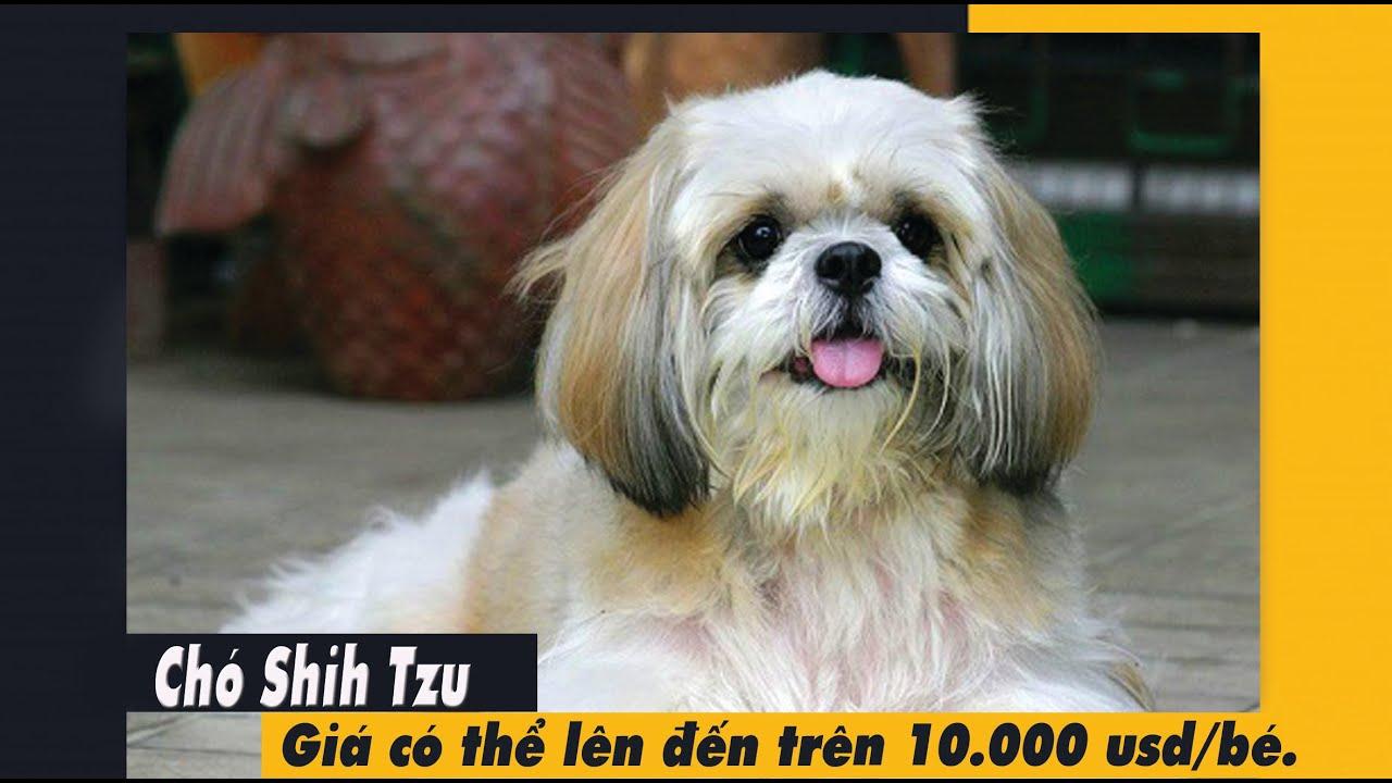 Chó Shih Tzu thuần chủng