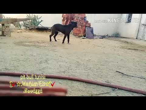 Training dogs to attack and escape the victim in Tunisia