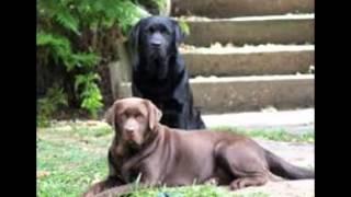 Labrador Kennels
