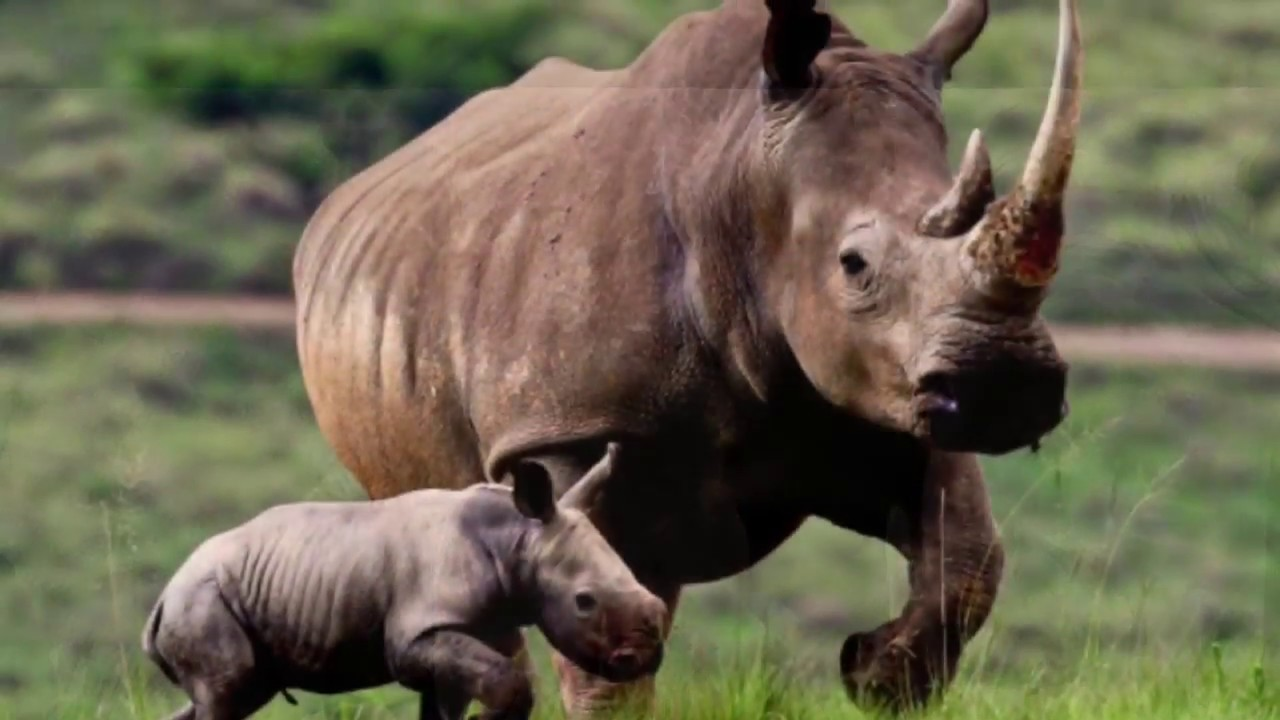Wildlife Extinct West African Black Rhinoceros Youtube