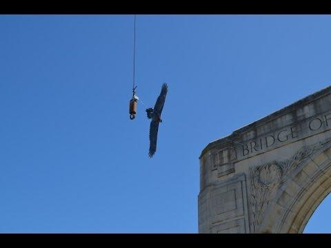 Haast Eagle Sightings in Christchurch