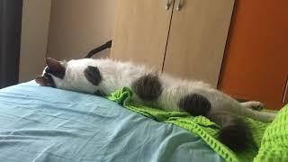 Akıllı kedi.Konuşan kedi.Sevimli kedi ŞANS.Talking and very smart cat ŞANS
