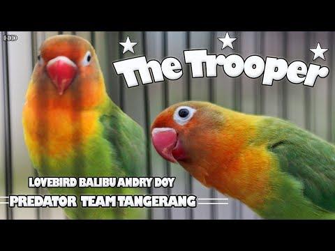 SUARA BURUNG : Aksi Love Bird Balibu Ngekek Panjang !! The Trooper - Andry Doy Predator Team Mp3