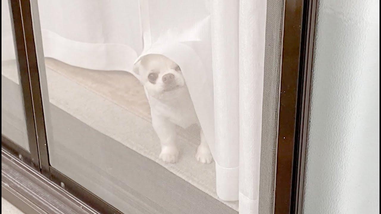 ただいまの挨拶をすると...窓から嬉しそうに出迎えるチワワ犬