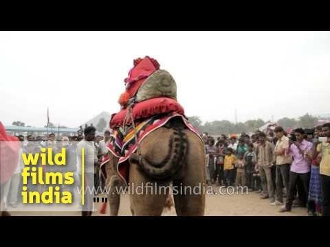 Camel dance at Pushkar fair in Rajasthan