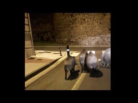 Un grupo de jabalíes se pasea por la Ronda da Muralla