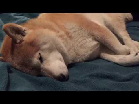 Snoring Shiba Inu (柴犬のいびき)