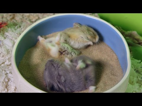 Cute Hamsters GO CRAZY in sand bath