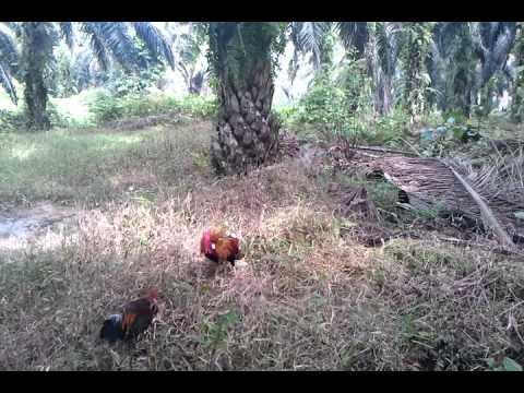 Pikat ayam hutan..si brooks