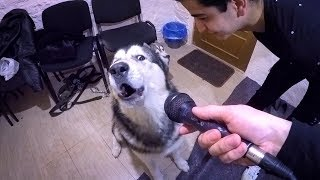 СОБАКА ПОЕТ : РЕАКЦИЯ СОБАКИ НА ЛАЙ ХАСКИ | dog sings on husky singing